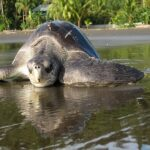 Liberación de tortugas en el Pacìfico Colombiano